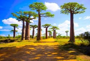 Madagascar_Baobab_Alley_2