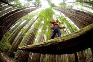redwood0