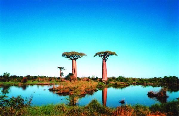 madagaskar_baobab