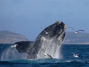 156_SouthAfricaOceanSafariswhalebreachlowres_1279034024